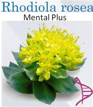 Cápsulas Mental Plus com Rhodiola Rosea 100mg + Ginseng 500mg - 30 caps. Tomar 01 cápsula pela manhã