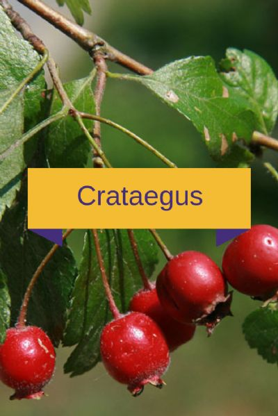 Crataegus 30mg, Passiflora 100mg, Mulungu 50mg - 60 cápsulas. Posologia: Tomar 1 a 2 cápsulas ao dia.